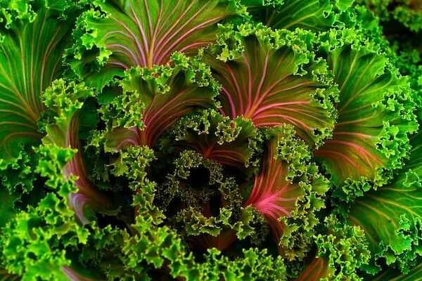 Swiss chard as one of healthiest winter vegetables